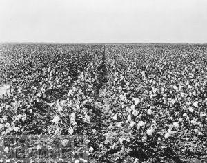 dn-71505-CottonField